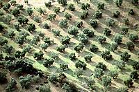 Olive trees. Málaga province. Spain