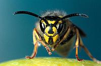 Common Wasp (Vespuña vulgaris), queen