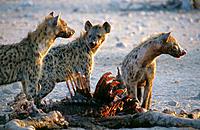 Spotted Hyenas (Crocuta crocuta). Namibia