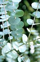 Eucalyptus stems.