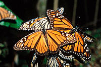 Monarch Butterflies (Danaus plexippus). Michoacan. Mexico