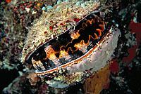 Thorny Oyster (Spondylus varius). Great Barrier Reef. Australia