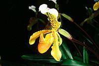 Orchid (Paphiopedilum insigne)