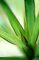Dragon Tree (Dracaena marginata) leaves