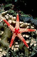 Starfish. Papua New Guinea