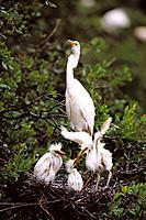 Great Egret (Casmerodius albus). Louisiana. USA