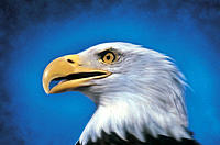 Close-up, Eagles Head, Blue Background