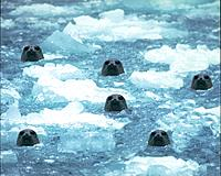 Seals Peeking From Icy Water ,