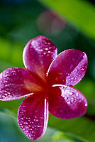 HI c/u of one dark pink plumeria blossom on tree dewdrops, sunshine D1749 green  blurry bkgd Maui