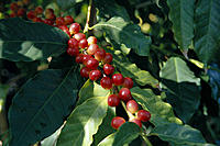 Closeup of Kona coffee plant, ripe cherry on tree, S.Kona HI