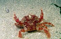 Crab (Liocarcinus corrugatus). Galicia. Spain