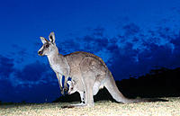 Grey Kangaroo (Macropus giganteus). Murramarang National Park. Australia