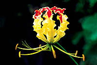 Glory lily (Gloriosa superba). Family: Liliaceae. A young flower of the glory lily. It is a seasonal climber with extremely attractive flowers. The fl...