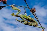 Praying Mantis (Mantis religiosa) mating