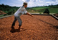 Fermented cocoa is dried in the sun and turned (1)