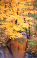 Maple trees over stream. New Hampshire. USA
