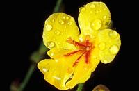 Mullein (Verbascum sinuatum)