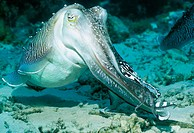 Cuttlefish (Sepia sp.)