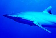 Silky Shark (Carcharhinus falciformis). Cuba, Caribbean