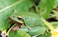 Common treefrog. Hungary