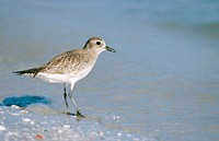 Black-bellied Plover (Pluvialis squatarola). Florida. USA