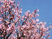 Sweet Almond (Prunus amygdalus)