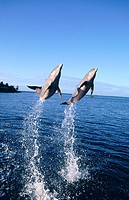 Bottlenose Dolphins (Tursiops truncatus). Anthony´s Keys Resort. Roatan. Bay Islands. Honduras.
