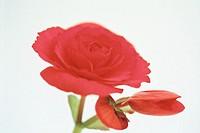 Begonia (Begonia tuberosa)