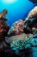 Leopard Moray (Gymnothorax favagineus). Maldive Islands