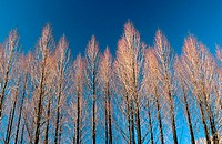 Metasequoia trees in winter. New York state. USA