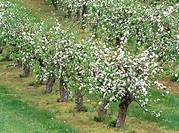 Apple trees plantation in Skane. Sweden