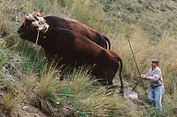 Two oxens ploughing. Málaga province. Spain