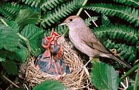 Female Blackcap (Sylvia atricapilla) feeding young