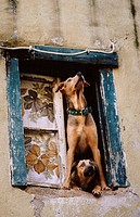 Dogs in a window of the Alfama area in Lisbon. Portugal