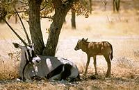 Gemsboks (Oryx gazella). Namibia