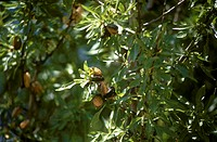 Almonds on the tree (1)