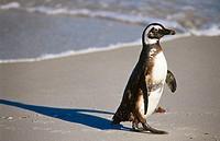 Jackass Penguin (Spheniscus demersus) on the beach. Simon´s Town. South Africa