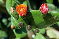Indian Fig (Opuntia ficus-indica), flowers and prickly pears