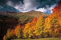 Aspen trees (Populus tremuloides) at autumn. Huesca province. Aragon. Spain