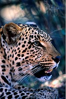 Leopard, Harnas, Namibia