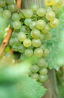 Grapes on vine. (Vitis vinifera) Chardonnay variety. Waupoos. Ontario, Canada