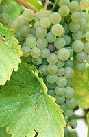 Grapes on vine (Vitis vinifera). Seyval Blanc variety. Waupoos. Ontario, Canada