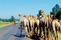 Camels caravan arriving from Somalia and heading to Nairobi for butchery. From Nairobi to Nanyuki by road. Kenya