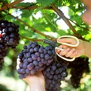 Cutting black grapes with scissors
