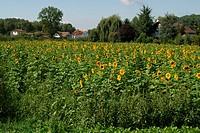 field, flowers, homes, houses, mount Vully, Sunflowers, Switzerland, Europe, Europe