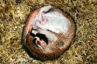 Edible Dormouse (Glis glis)