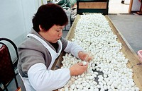 Woman at work sorting silk cocoons in a silk spinning mill. Hangzhou. Zhejiang province, China