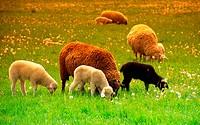 10760926, dusk, evening mood, dusk, twilight, field, eat, stoves, ranges, herd, lamb, scenery, agriculture, morning mood, natu
