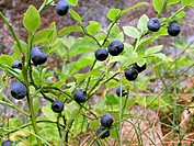 10761151, berry, berries, close up, food, feeding, food, eating, harvest, crop, Finland, healthy, blueberry, low_calorie, macr