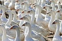 Goose farm. Skåne. Sweden